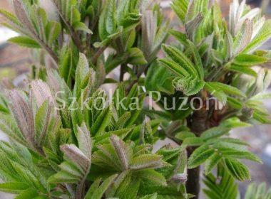 Sorbus aucuparia (jarząb pospolity) 'Fastigiata' (wiosna)