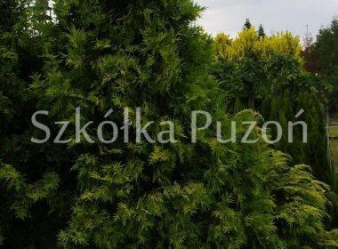 Thuja occidentalis (żywotnik zachodni) 'Europe Gold'