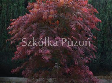 Acer palmatum (klon palmowy) 'Dissectum Atropurpureum'