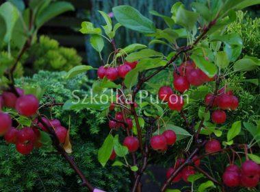 Malus (jabłoń)