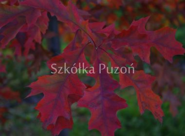 Quercus palustris (dąb błotny) (jesień)
