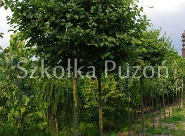 Tilia cordata (lipa drobnolistna) 'Green Globe'