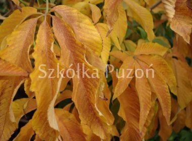 Aesculus flava 'Vestita' (jesień)
