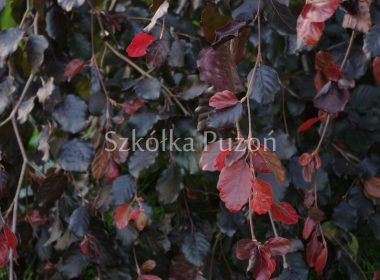 Fagus sylvatica (buk pospolity) 'Purple Fountain'