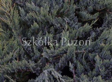 Juniperus horizontalis (jałowiec płożący) 'Blue Chip'