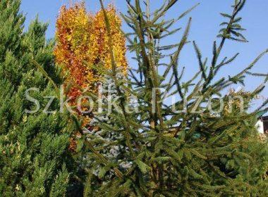 Picea abies (świerk pospolity) 'Virgata'