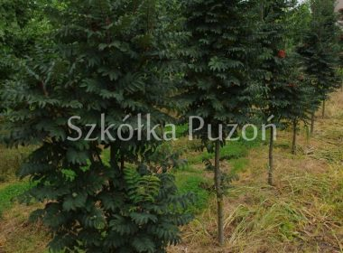 Sorbus aucuparia (jarząb pospolity) 'Fastigiata'