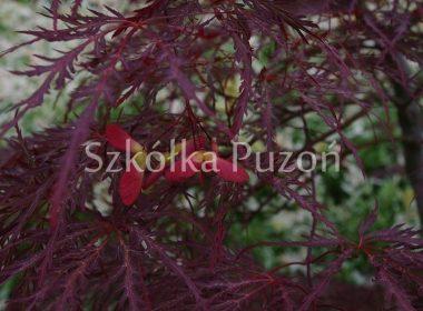 Acer palmatum (klon palmowy) 'Garnet'