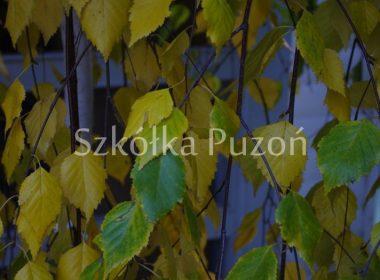 Betula pendula (brzoza brodawkowata) 'Youngii' (jesień)