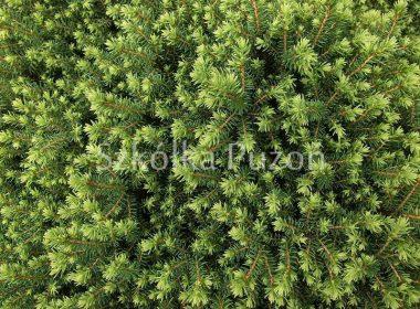 Picea omorika (świerk serbski) 'Karel'