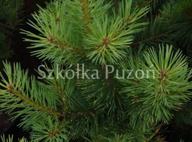Pinus sylvestris (sosna pospolita) 'Gold Coin' (latem)