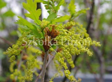 Quercus robur (dąb szypułkowy) (wiosna)