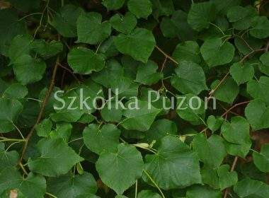 Tilia cordata (lipa drobnolistna)
