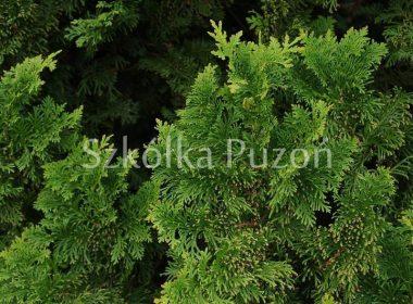 Thuja occidentalis (żywotnik zachodni) 'Spiralis'