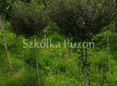 Betula nana (brzoza karłowata) (Pa.)