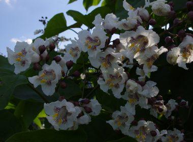 Catalpa bignonioides (surmia bignoniowa)