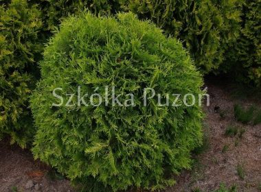 Thuja occidentalis (żywotnik zachodni) 'Golden Globe'