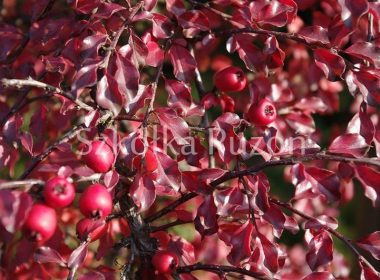 Cotoneaster horizontalis (irga pozioma) (jesień)
