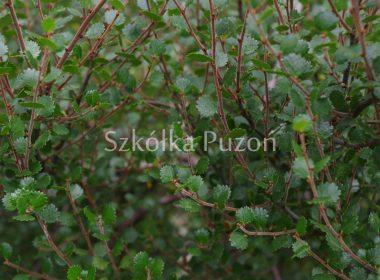 Betula nana (brzoza karłowata)