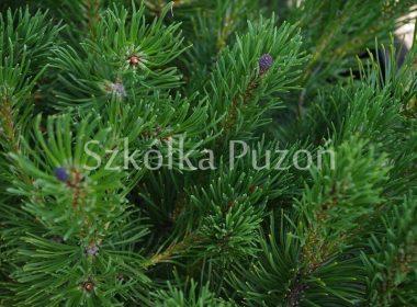 Pinus mugo (sosna górska, kosodrzewina)