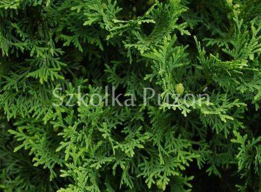 Thuja occidentalis (żywotnik zachodni) 'Columna'