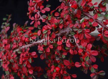 Cotoneaster cochleatus (irga łyżeczkowata) 'Schneider' (jesień)
