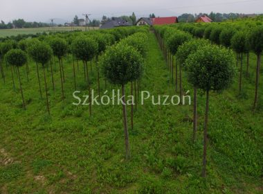 Prunus (wiśnia) 'Umbraculifera' (uprawa)
