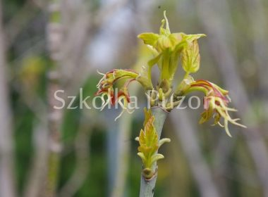 Acer negundo (klon jesionolistny) 'Odessanum' (wiosna)