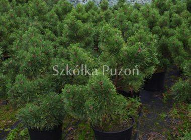 Pinus nigra (sosna czarna) 'Nana'
