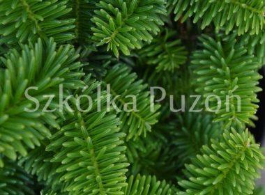 Abies balsamea (jodła balsamiczna) 'Nana'