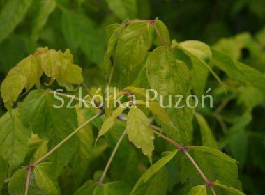 Acer negundo (klon jesionolistny) 'Odessanum'
