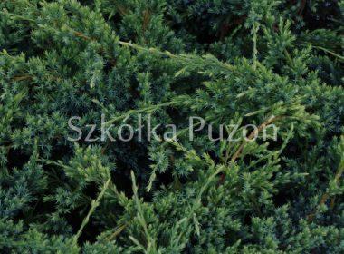 Juniperus squamata (jałowiec łuskowy) 'Holger'