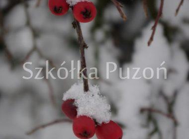 Cotoneaster horizontalis (irga pozioma) (zimą)