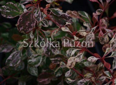 Berberis thunbergii (berberys Thunberga) 'Rose Glow'
