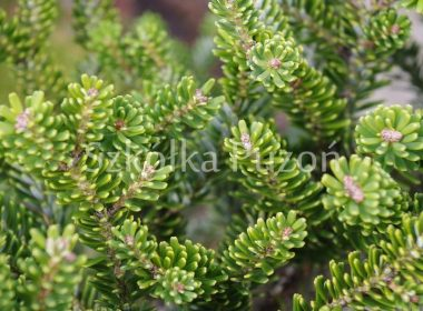 Abies koreana (jodła koreańska) 'Brevifolia'