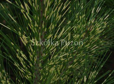 Pinus densiflora (Sosna gęstokwiatowa) 'Oculus Draconis'
