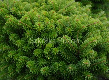 Abies koreana (jodła koreańska) 'Dark Hill'