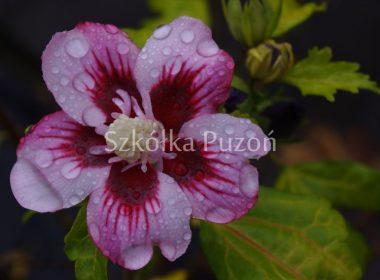 Hibiscus syriacus (ketmia syryjska) 'Hamabo'