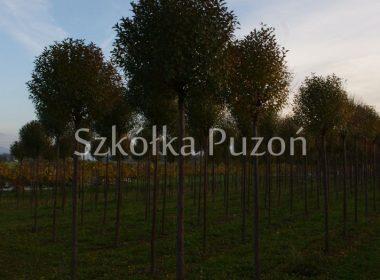 Prunus x eminens (Wiśnia osobliwa) 'Umbraculifera' (jesień)