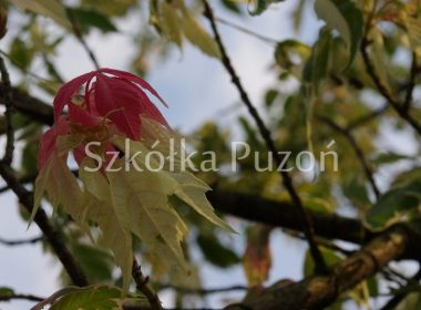 Acer negundo (klon jesionolistny) 'Flamingo'
