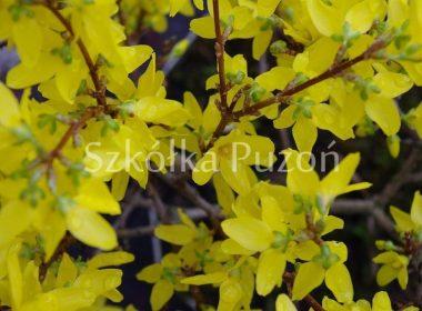 Forsythia x intermedia (forsycja pośrednia)