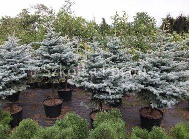 Picea pungens (świerk kłujący) 'Glauca Globosa' (forma pienna)