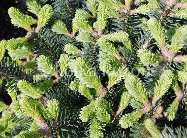 Abies lasiocarpa (jodła górska) 'Compacta' (wiosna)