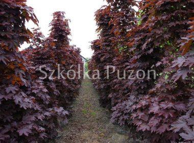 Acer platanoides (klon zwyczajny) 'Crimson Sentry'