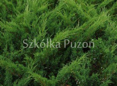 Juniperus sabina (jałowiec sabiński) 'Mas'