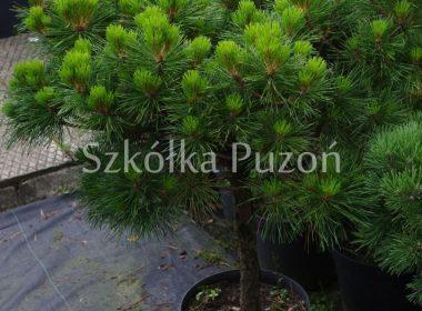 Pinus nigra (sosna czarna) 'Brepo' (Pa.)