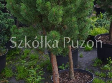 Pinus mugo (sosna górska) 'Mini Mops' (Pa.)