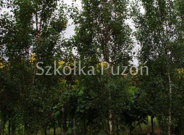 Betula pendula (brzoza brodawkowata) 'Fastigiata'