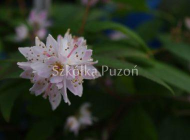 Deutzia scabra (żylistek szorstki) 'Plena'