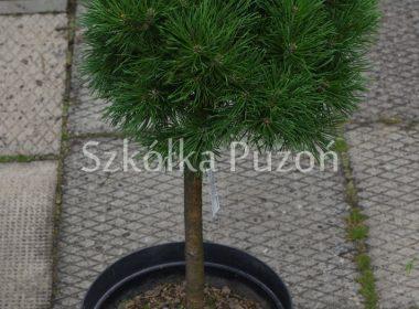 Pinus mugo (sosna górska) 'Pumilio' (Pa.)